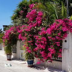 Bougainvillea in Aegina town.