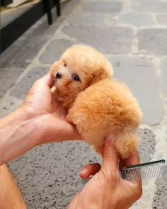 cute teacup puppies The cutest little potato Cute Teacup Puppies, Tiny Puppies, Teacup Chihuahua, Cute Dogs And Puppies, Bulldog Puppies, Baby Dogs, Cutest Dogs, Cute Fluffy Dogs, Cavapoo Puppies