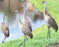 Florida Cranes - 55 Reasons to Love Florida
