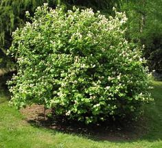 Fothergilla major AGM Tufts of fragrant white flowers in April and May. Oval green leaves, slightly bluish-white beneath, that turns red, orange and yellow in autumn.  Height 2 to 2.5 metres. Spread 1.2 to 2 metres.   Foliage and flowering shrubs for moist acid soils in sun or part shade. Deciduous.