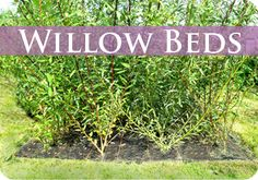 Willow Bed to harvest your own willow whips