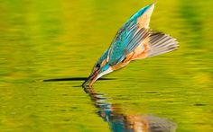 A kingfisher divebombs into a lake with wings folded in for maximum speed, targeting its fish supper like a missile. Award-winning photographer Joe Petersburger captured the hunting kingfisher in a breathtaking sequence of images taken in the Danube Delta in Romania...  Picture: JOE PETERSBURGER / NAT GEO STOCK / CATERS