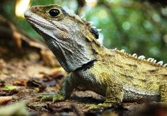 """Not a lizard, a tuatara!! """"Tuatara were originally classified as lizards in 1831 when the British Museum received a skull. The genus remained misclassified until 1867, when Albert Günther of the British Museum noted features similar to birds, turtles, and crocodiles. He proposed the order Rhynchocephalia (meaning """"beak head"""") for the tuatara and its fossil relatives. """" (wikipedia)    I WANT HIM!!!!"""