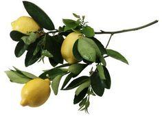 How to Grow a Lemon Tree Inside