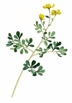 Rue is the flowers of Sunday grace. We wear it with a difference. Herb Tattoo, Plant Tattoo, Botanical Illustration, Botanical Prints, Watercolor Flowers, Watercolor Paintings, Body Painting, Herbs Image, Sewing Tattoos