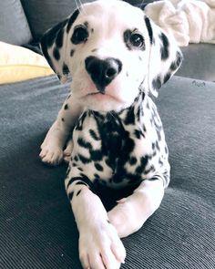 Dalmatian Puppies: Pictures And Facts – animals – Dalmatiner Welpen: Bilder und Fakten – Tiere – Cute Little Animals, Cute Funny Animals, Funny Dogs, Funny Memes, Baby Animals Pictures, Cute Animal Pictures, Heart Pictures, Pictures Of Dogs, Baby Pictures