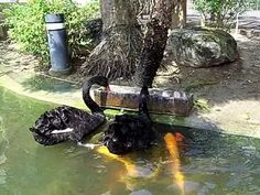 Black swan feeding Koi fish
