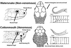How to tell if a snake is venomous. FYI there are only four types of venomous snakes native to north america. Cottonmouth, Rattle snake, coral and copperheads. Happy Hiking! Need to know this by heart