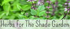 ~8 Culinary Herbs for the Shade Garden~ | Reformation Acres