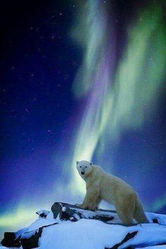 Polar bear ¶ Aurora borealis