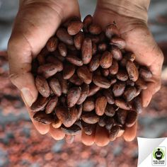 Did you know this is how your #chocolate starts out? Let's be grateful for all the hard work that goes into making our sweet treat! #FairTrade