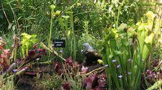 Dans le jardin «Carnivore parc», une tourbière, milieu naturel de nombreuses plantes carnivores, a été aménagée. Au centre de la photo, on distingue des spécimens de Sarracenia alata, une géante qui peut atteindre un mètre de haut.