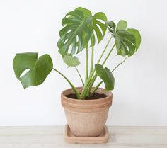 Excited to share the latest addition to my shop: Monstera Deliciosa / Swiss Cheese Plant / Split Leaf Philodendron - live plants tropical house plants