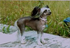 Groomers BBS: Chinese Crested