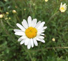 The #oxeyedaisy in my garden have flowered. Well one of them has! #garden #flowerporn #flowerstalking #flowermagic #floweroftheday #instaflower #goodmorning #gardening #garten #urbangarden #urbangardenersrepublic #urbangardening #instagarden #instagardenlovers #white #whiteflowers #daisy #daisies #ponyfony_flowers #lobotany #nature #macro