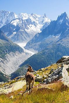 Ibex, Capra ibex on the Aiguille rouge above Chamonix, France, in front of the…