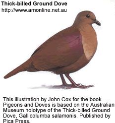 Thick-billed Ground Dove | Thick-billed Ground Dove ( Gallicolumba salamonis ) is an extinct dove, known only from two specimens, 1882 and 1927.  May have lived on the Solomon Islands, Makira, and the island of Ramos.
