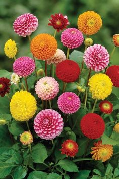 10 Tips on How to Plant Grow and Care for Dahlia Flowers These beautiful spiky flowers originate from Mexico and are tuberousrooted perennials that bloom from mid summer. Colorful Flowers, Beautiful Flowers, Growing Dahlias, How To Grow Dahlias, Hydrangea Care, Cut Flower Garden, Dahlia Garden Ideas, Bloom, Flower Show