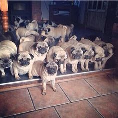 a grumble of pugs!