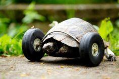 Tartaruga de 90 anos ganha rodas após perder patas dianteiras
