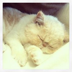 Real Life, Real Love :) Meet Lola, my Exotic Shorthair kitten !