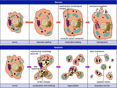 apoptosis vs necrosis graphic