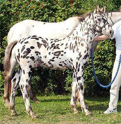 Knabstrupper - Hyben 5 years old mare