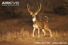 Chital Deer | Chital male displaying