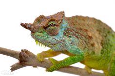 Pfeffers Chameleon - Trioceros Pfefferi - Male Wild caught male from Cameroon
