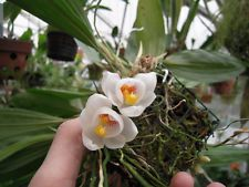 SIEVEKINGIA BUTCHERI AMAZING SMALL ORCHID WITH STUNNING BLOOMS!