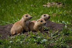 Custer State Park Prairie Dogs