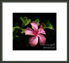 Pink Hibiscus Framed Print By Layla Alexander