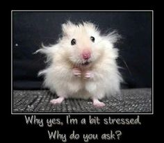 I had a hamster like this when I was little. His name was Chandler Joey (from Friends) and he was lovely and fluffy and everything a hamster should be. Stress Pictures, Fail Pictures, Amazing Pictures, Stress Funny, Stress Humor, Funny Stress Quotes, Mundo Animal, Funny Animal Pictures, Funny Photos