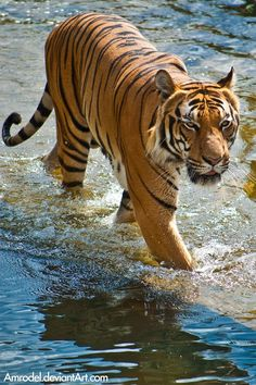 """llbwwb: """" For the tiger lovers:) Tiger in Water by =amrodel """""""