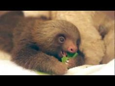 A Baby Sloth Eating an Almond Leaf