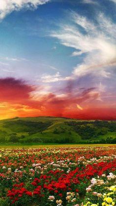 Rose, Colorful, Flower, Plant, Landscape