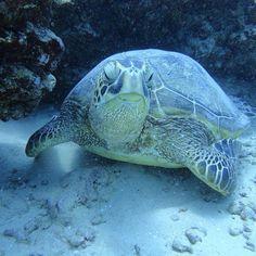 Yoga turtle!  #scuba #Hawaii #Gopro #diving with #oceanfloor #greenseaturtle #yogaturtle  #coralreef with @hawaiiscubadiving #honolulu http://ift.tt/1WwCXtX