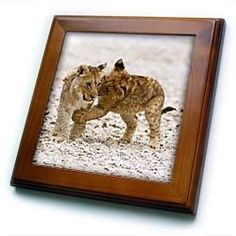 "Africa, Two lion cubs play fighting on the Etosha Pan-AF31 DSL0028 - David Slater - 8x8 Framed Tile by 3dRose. $22.99. Dimensions: 8"" H x 8"" W x 1/2"" D. Inset high gloss 6"" x 6"" ceramic tile.. Cherry Finish. Solid wood frame. Keyhole in the back of frame allows for easy hanging.. Africa, Two lion cubs play fighting on the Etosha Pan-AF31 DSL0028 - David Slater Framed Tile is 8"" x 8"" with a 6"" x 6"" high gloss inset ceramic tile, surrounded by a solid wood frame with..."