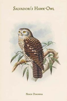 Ninox Dimorpha - Salvadori's Hawk-Owl