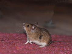 Dit hadden we eerder moeten weten! Hoewel muizen er best lief uit zien, hebben we die kleine knaagdieren liever niet in huis. D...