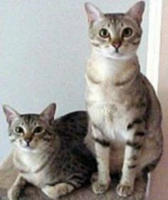 Australian Mist - I saw these beauties on Cats 101 on Animal Planet.  This breed has been developed *specifically* to be an indoor cat; loving & affectionate.
