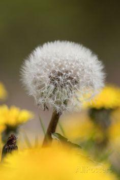 Dandelion Seed Head Fotoprint