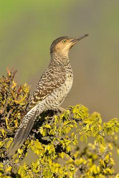Pica-Pau-Chile-Flicker ( Colaptes pitius ) ( Fêmea ) - Esta espécie tem como caracteristica fazer a maior parte dos seus ninhos em barrancos. Chile e Argentina.