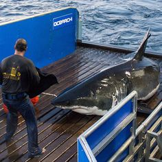 Today is the 3-year tagging anniversary of Mary Lee. In the last 3 years she revealed for the first time the migration of a mature female Atlantic white shark and became the most loved and followed shark on the planet. She is an ambassador for all sharks replacing fear with facts.