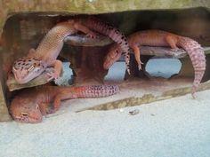 Peachy Pink Leopard Geckos