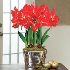 Symphony Rock n' Roll® Amaryllis Triple: Flowers Naturally During the Holiday Season, So No Forcing is Needed! The stunning Symphony Amaryllis are simply the best of the best. Produced in the Southern hemisphere, they naturally flower during the holiday season, meaning no forcing is required to get them to bloom. And they're grown outdoors under natural and ideal conditions, so you can expect even more prolific flowering.