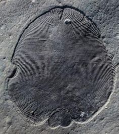 Dickinsonia is a genus of iconic fossils of the Ediacaran biota. The individual Dickinsonia typically resembles a bilaterally symmetrical ribbed oval. Extinct Animals, Prehistoric Animals, Fossil Hunting, Dinosaur Fossils, Fresco, Life Form, Ammonite, Science And Nature, Earth Science