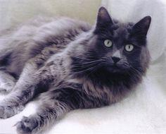 beautiful Nebelung cat - looks just like my kitty Twilight!  :-)