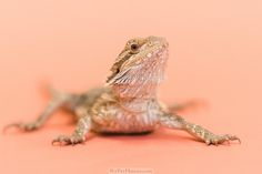 Snakes on Seamless: Shooting Adoption Photos for Exotic Animals Exotic Animals, Exotic Pets, Animals And Pets, Pet Lizards, Pet Portraits, Animal Photography, Doggies, Photo Galleries, Adoption