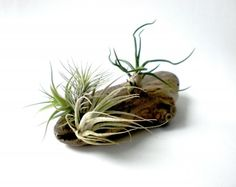 Air Plants on Driftwood  Except don't actually use driftwood, use grapewood. Nurseries will have it (and you can get big pieces for cheap here: http://www.save-on-crafts.com/grapewood.html)